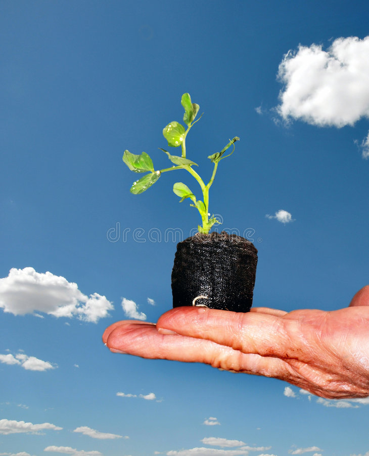 Download Hand hold bean seedling stock photo. Image of ecological - 5391472