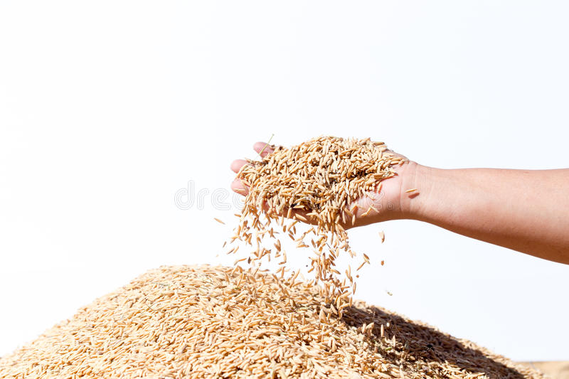 Hand hold paddy rice on the white background royalty free stock images
