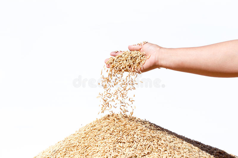 Hand hold paddy rice on the white background royalty free stock photography