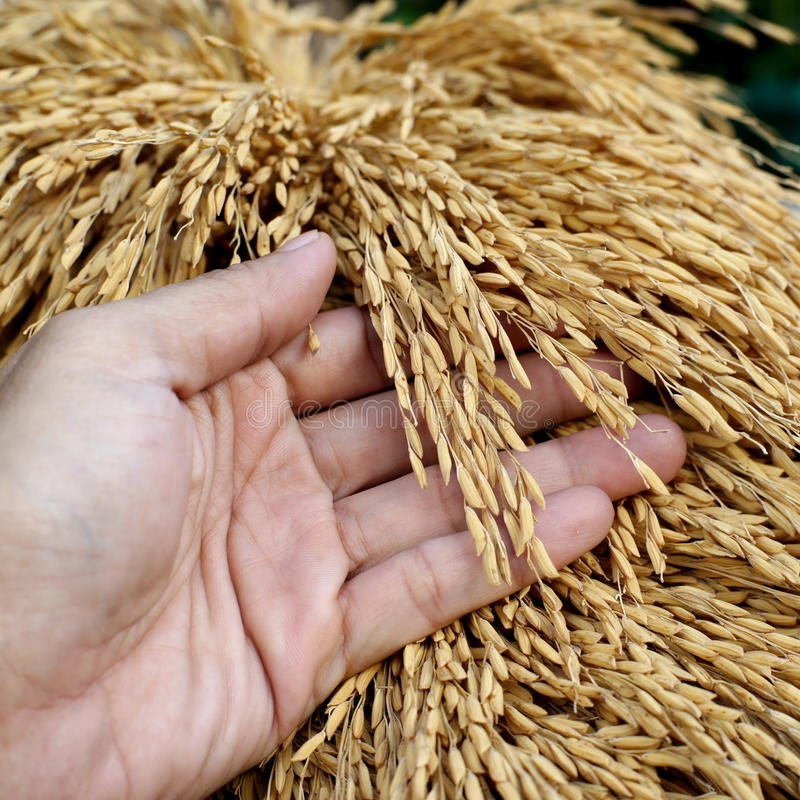 Hand hold the rice harvested. Photo of hand hold the rice harvested royalty free stock photo
