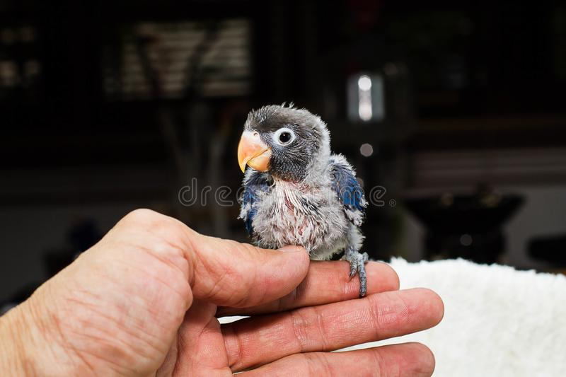 Hand holding baby parrot lovebird selective focus stock image