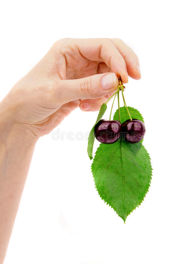 Hand holding black cherry with laeves . background royalty free stock photo