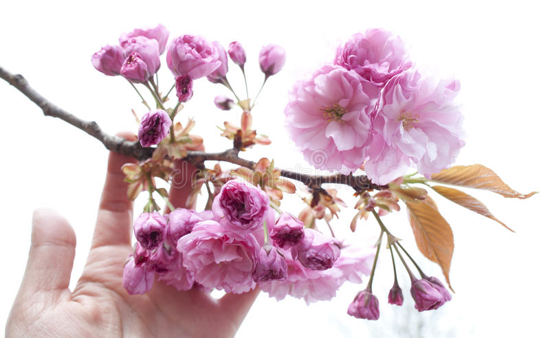 Download Hand Holding Blooming Branch Stock Image - Image of cherry, background: 40448609