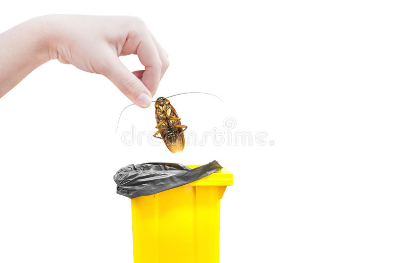 Hand holding brown cockroach and bin yellow Isolated on a white background. Cockroaches as carriers of disease royalty free stock photography
