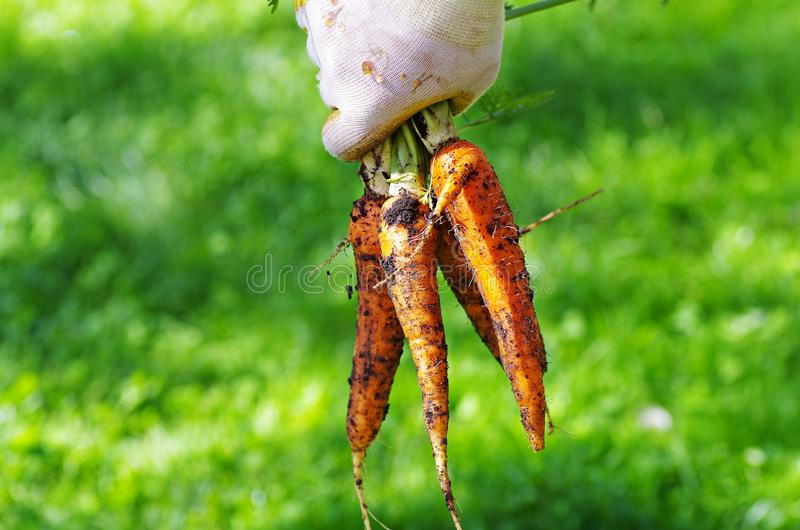 Hand holding bunch of carrots royalty free stock photo