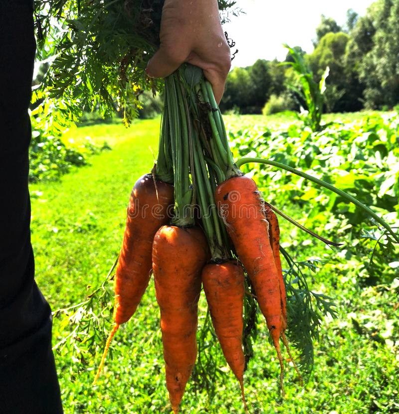 A hand holding a bunch of carrots straight from the garden patch. Fresh organic carrots picked from garden in hands royalty free stock photo