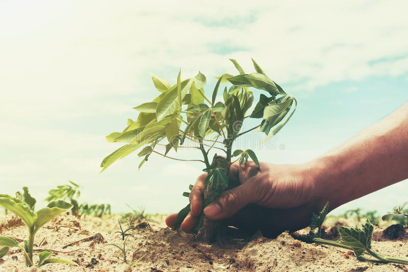 hand holding cassava tree in farmland with sky background. agriculture concept stock photos