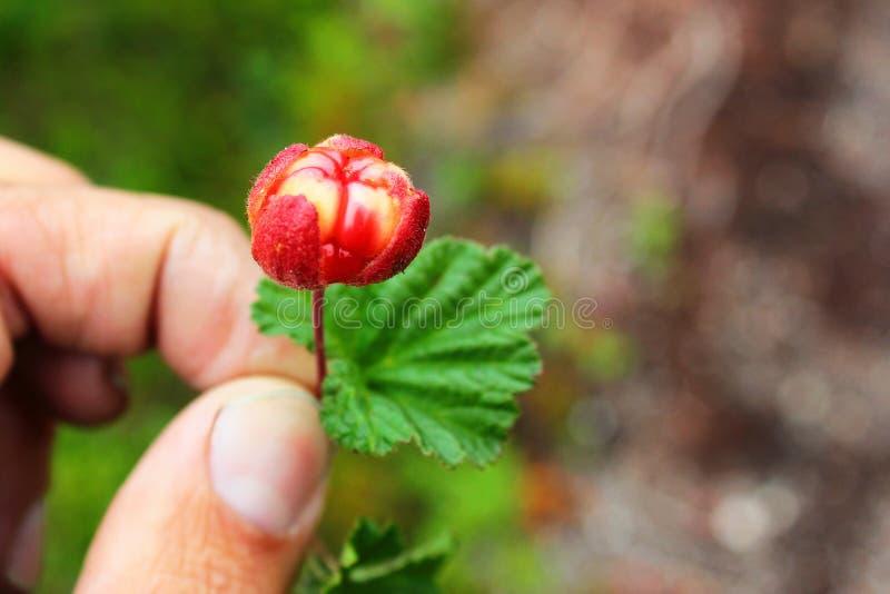 Hand holding a cloudberry Rubus chamaemorus.  royalty free stock photo