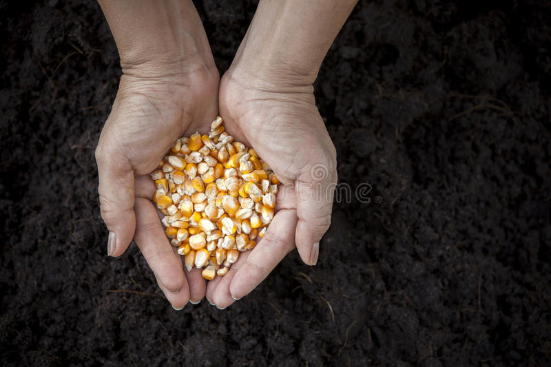 Hand holding corn seed heart shape against soil in plantation stock image