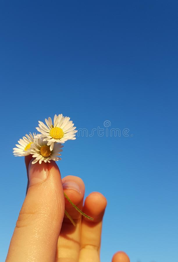 Hand holding daisies on blue sky stock image