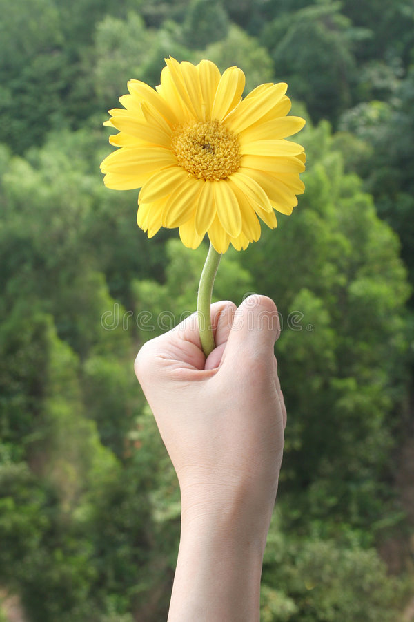 Hand holding daisy royalty free stock images