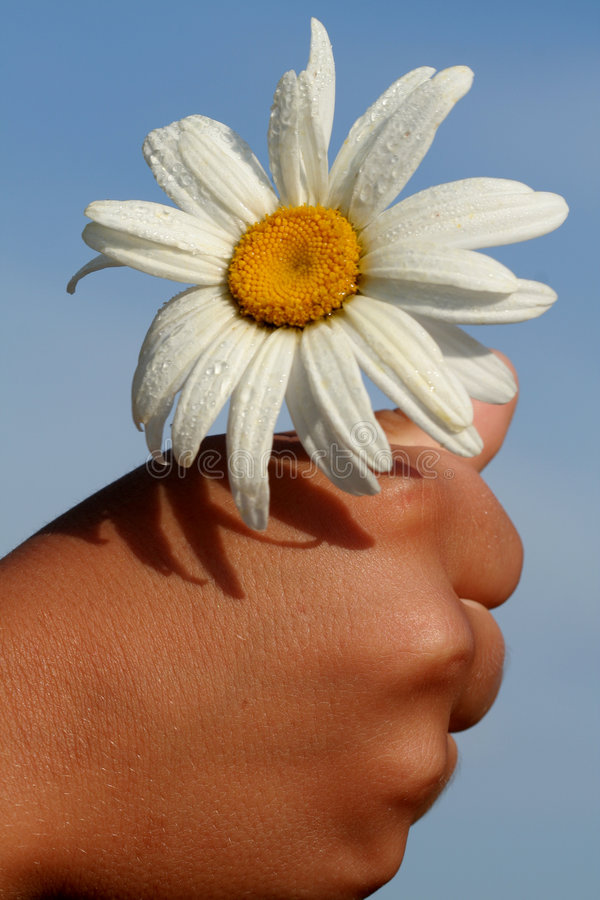 Download Hand Holding a Daisy stock photo. Image of blue, daisy - 1723254