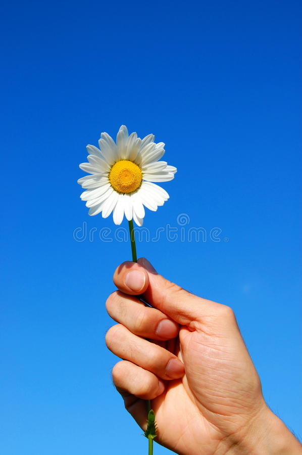 Download Hand holding a daisy stock photo. Image of fingers, happy - 9730302