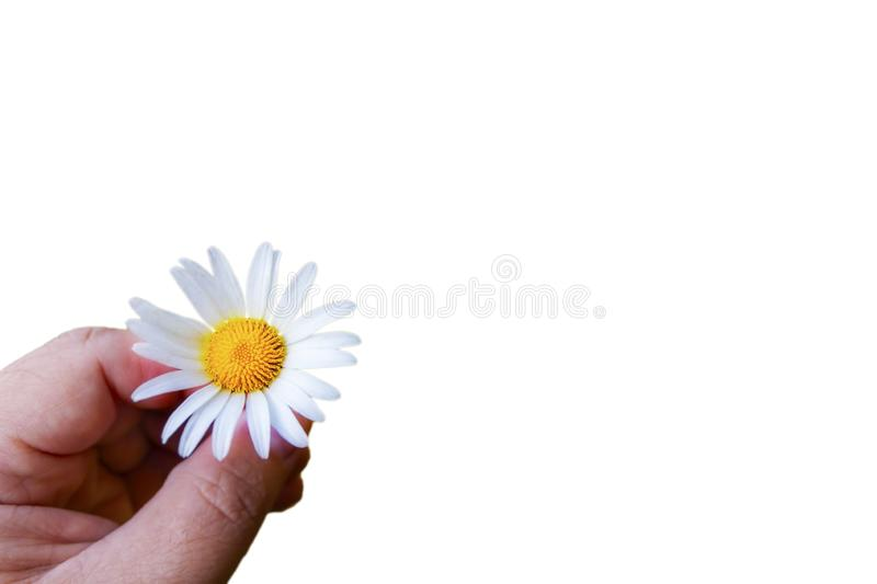 A hand is holding a daisy on a white background. Isolate. Close-up stock photo