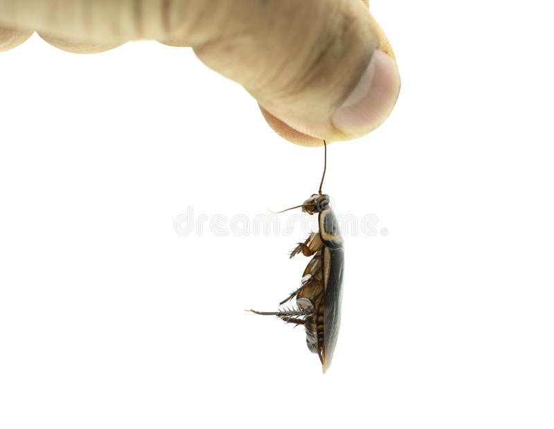 Hand holding a dead cockroach on white background. Hand holding a dead cockroach on isolated white background stock images
