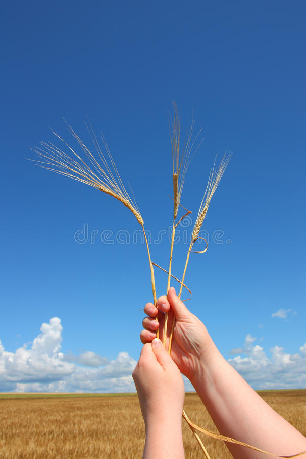 Download Hand Holding Ears Of Wheat Against Blue Sky Stock Image - Image: 21458331