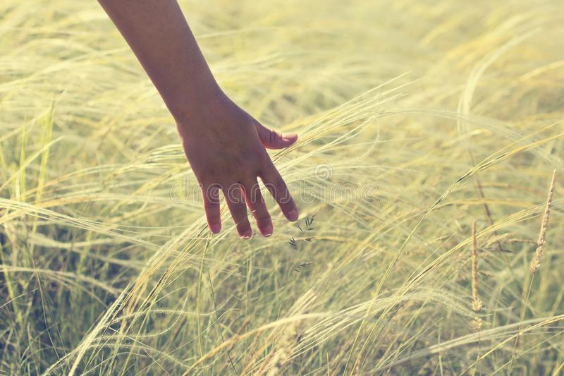 Hand holding on feather grass against sunset background.  royalty free stock photography