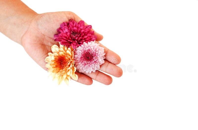 Hand holding Flower isolated on white background. Close up Hand holding Flower isolated on white background royalty free stock image