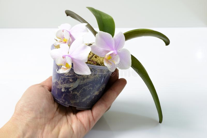 Hand holding a flower pot with a mini orchid royalty free stock photo