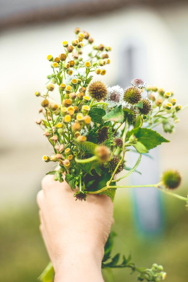 Hand holding fresh blooming flowers royalty free stock photo