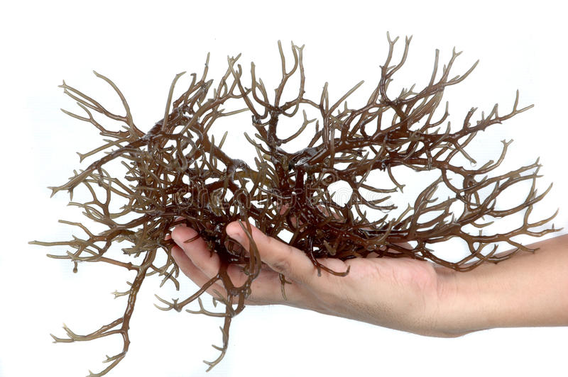 Hand holding fresh brown seaweed royalty free stock photo