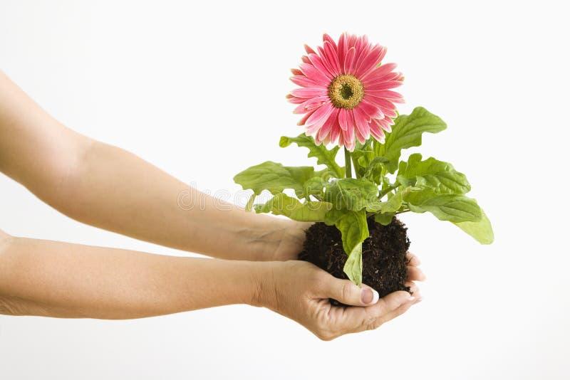 Hand holding gerber daisy. stock photo