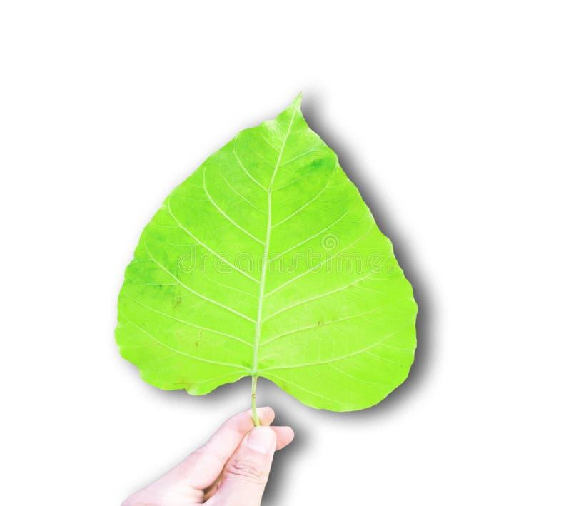 Green bothi leaf Pho leaf, bo leaf isolated on white background. Hand holding Green bothi leaf Pho leaf, bo leaf isolated on white background. Very Bright image royalty free stock photo