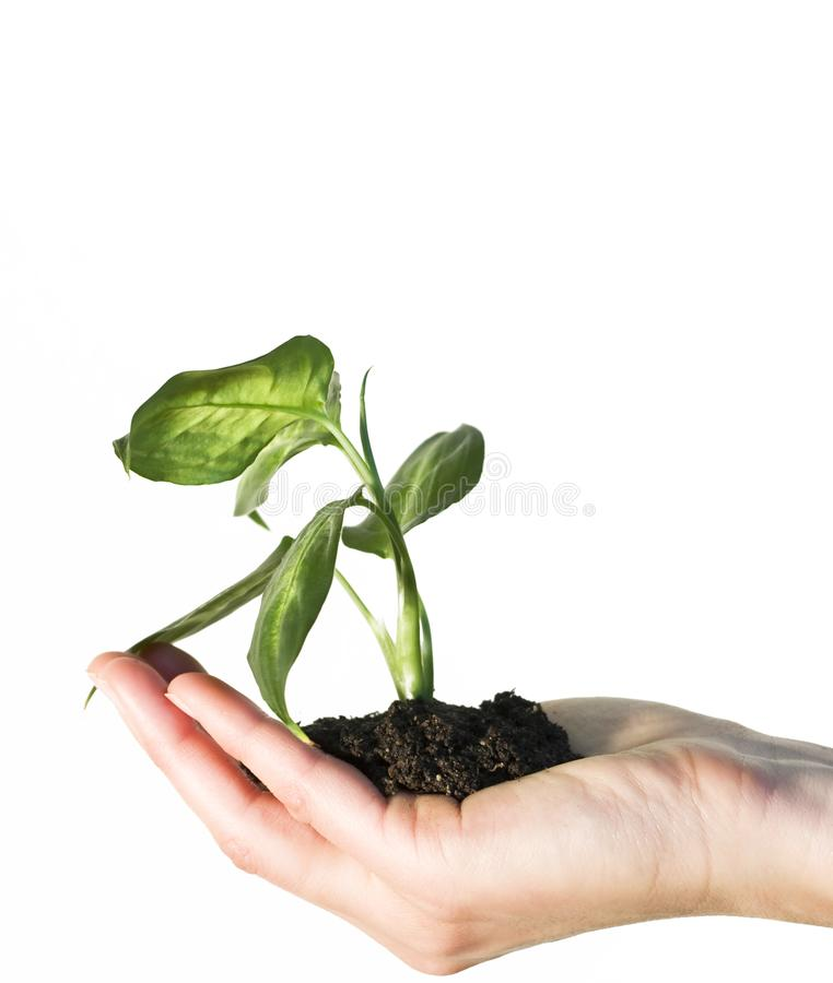 Hand holding a gren plant royalty free stock images
