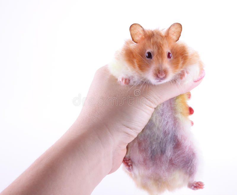Download Hand holding hamster stock photo. Image of healthy, hand - 21219844