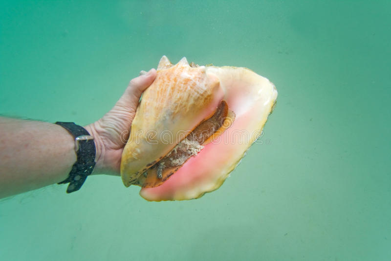 Hand holding a live conch stock photos