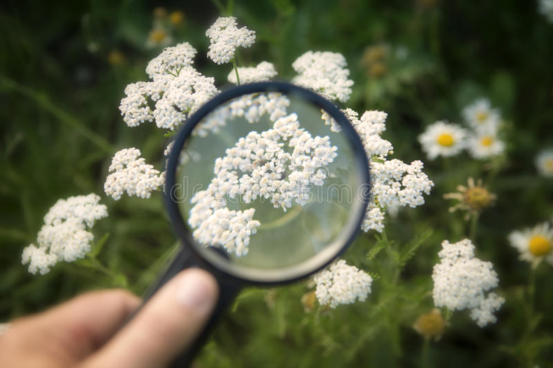 Hand holding magnifying glass to white yarrow royalty free stock photography