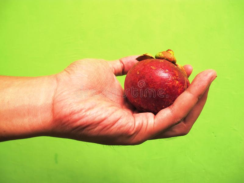 Hand holding mangosteen fruit stock photography