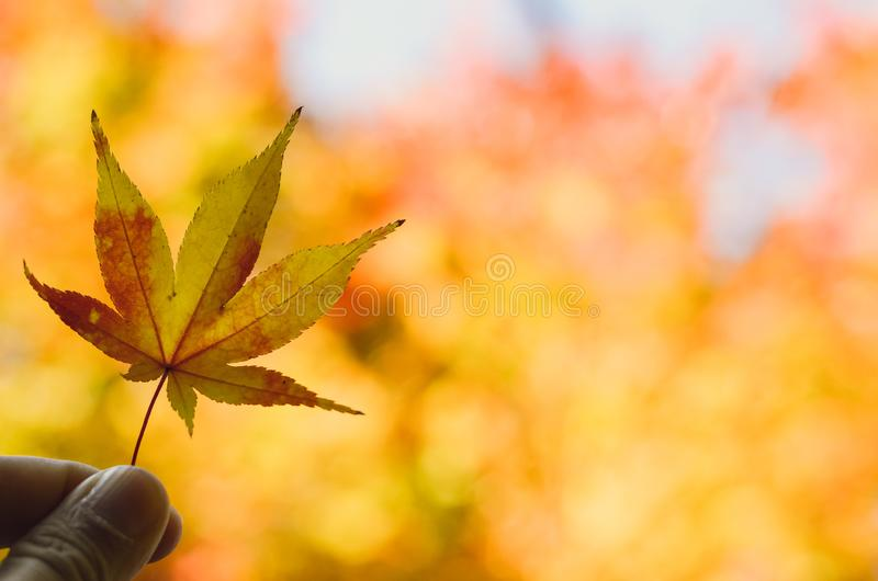 Hand holding maple leaf on yellow background stock image