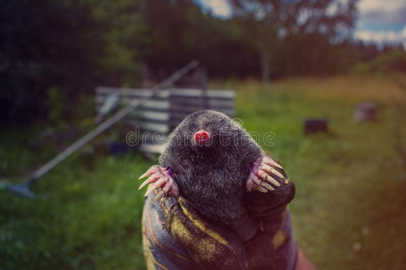 Hand holding a mole royalty free stock image
