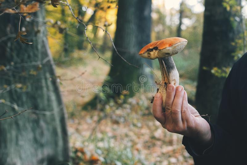 Hand holding mushroom in autumn woods. Leccinum aurantiacumin in hand on background of sunny woods and fall leaves. Picking. Mushrooms in forest. Copy space royalty free stock images