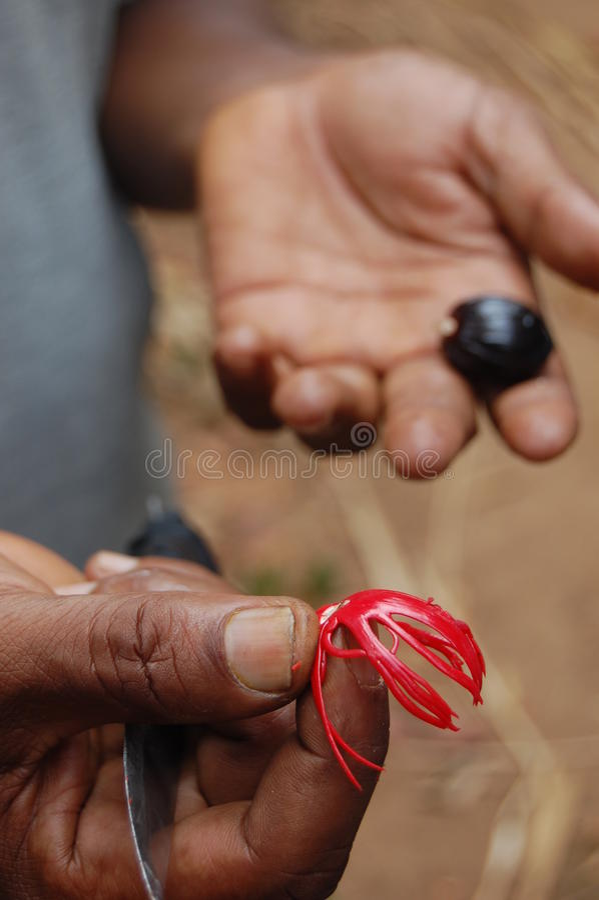 Download Hand holding nutmeg stock image. Image of hand, nutmeg - 20290671