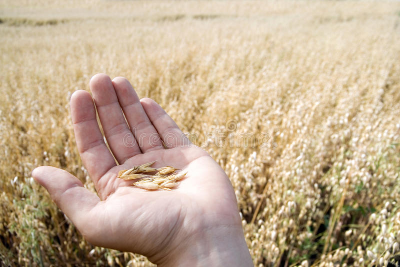 Hand holding oat seeds royalty free stock photos