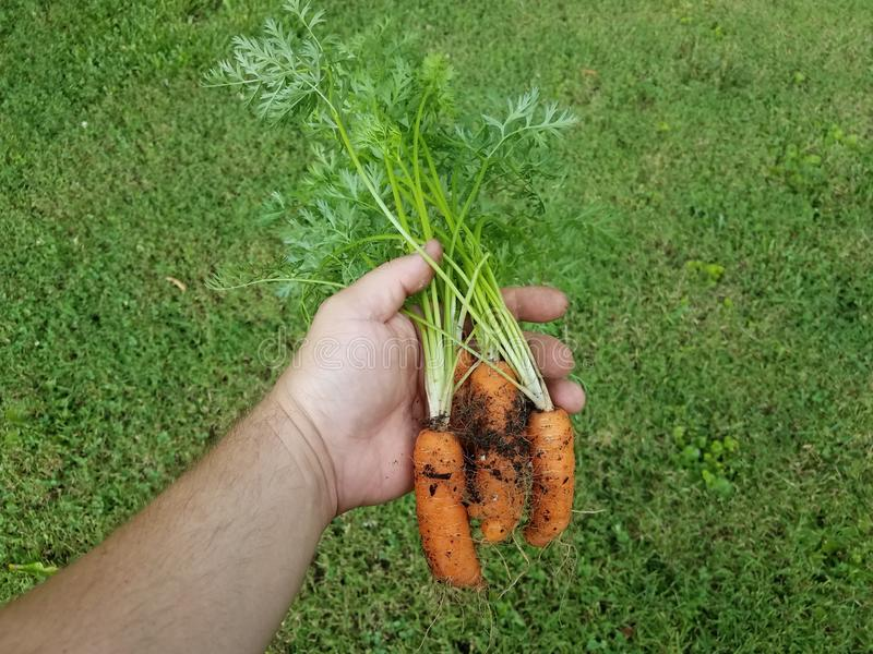 Hand holding orange carrots with dirt over green grass stock photo