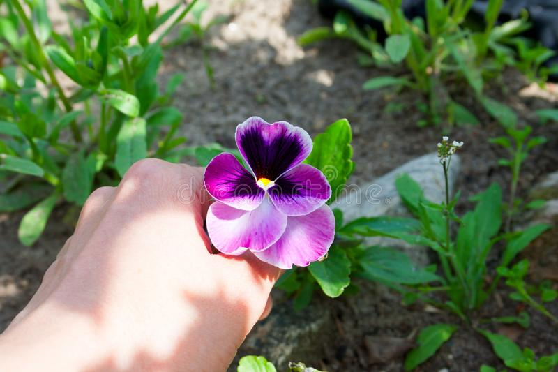 Hand holding pansy flowers. royalty free stock photo
