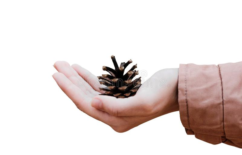 Hand holding a pine cone. Close up. Isolated on white background royalty free stock image