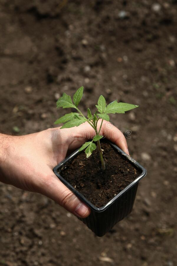 Hand holding a pot with a young tomato plant. Tomato plant ready for planting in the ground. Planting tomato seedlings royalty free stock photography