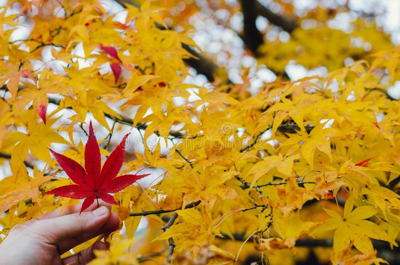 Hand holding red maple leaf on yellow maple tree stock photo