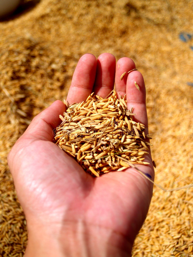 Download Hand  holding rice  3 stock image. Image of crop, paddy - 1718975