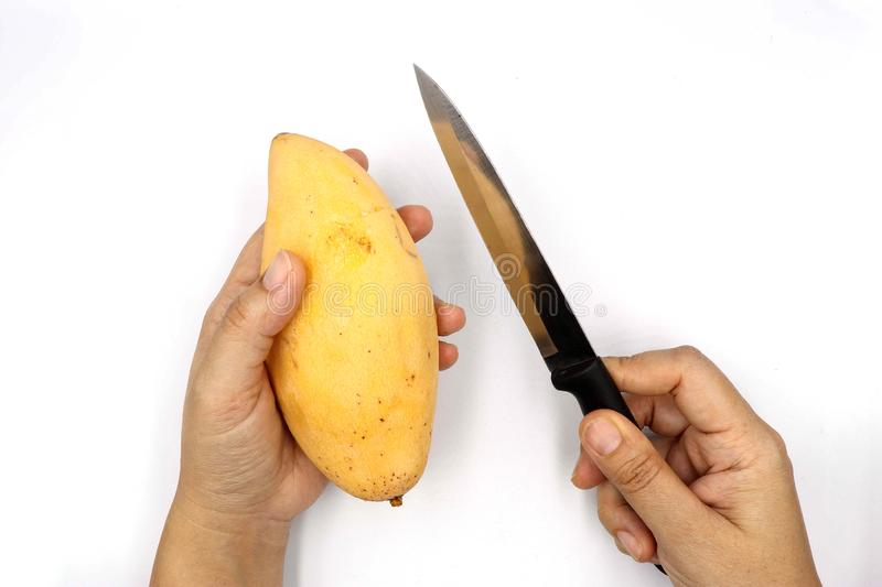 Hand holding ripe mangoes, yellow mango with knife prepare peel isolated on black background royalty free stock image