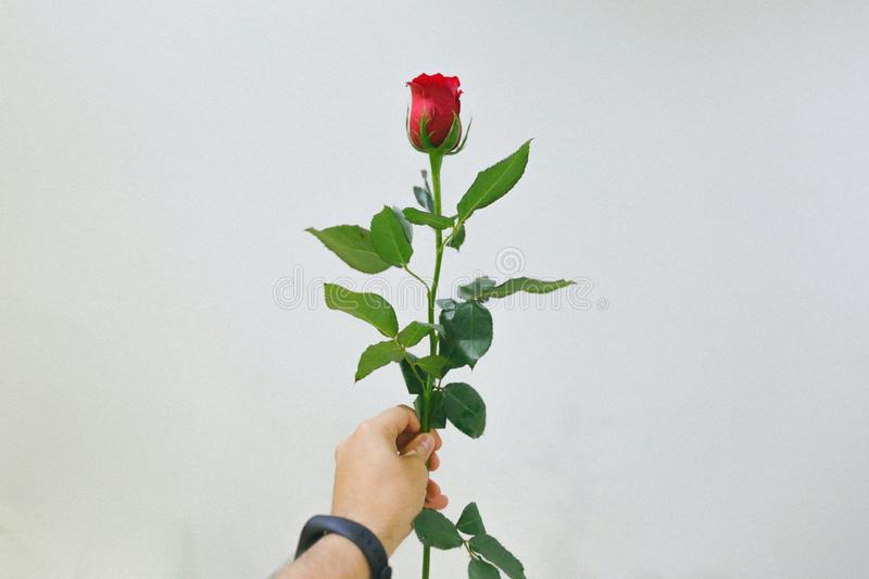 Hand holding a rose in a white room stock photography