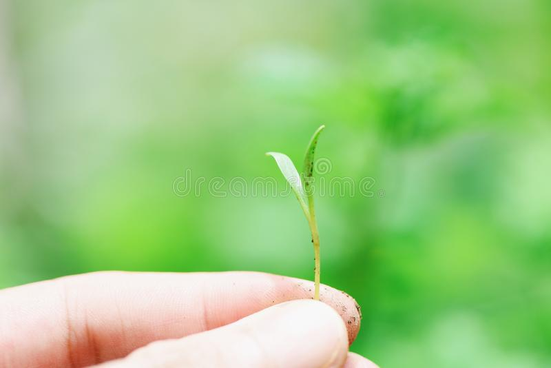 Hand holding of sapling young plant growth on neutral green background - Agriculture little plant seeding growing for planting on royalty free stock photo