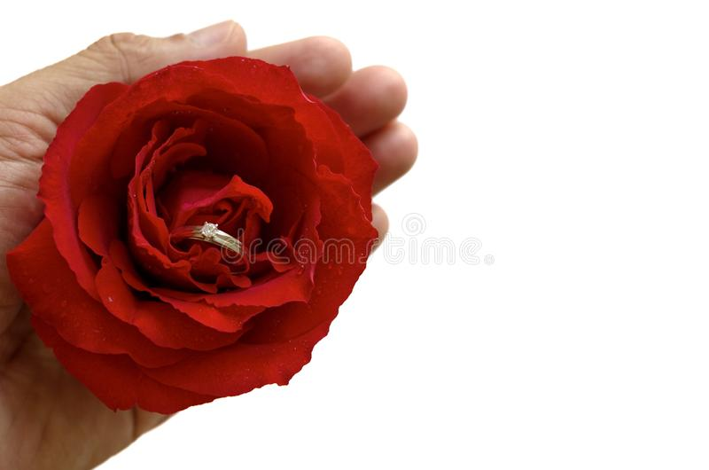 The hand holding a single red rose with silver diamond ring inside. royalty free stock image