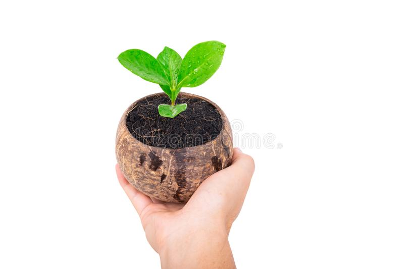 Hand holding small green tree in coconut shell on white stock photo