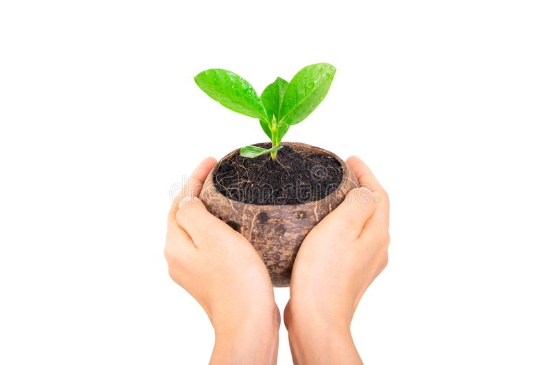 Hand holding small green tree in coconut shell on white royalty free stock photography