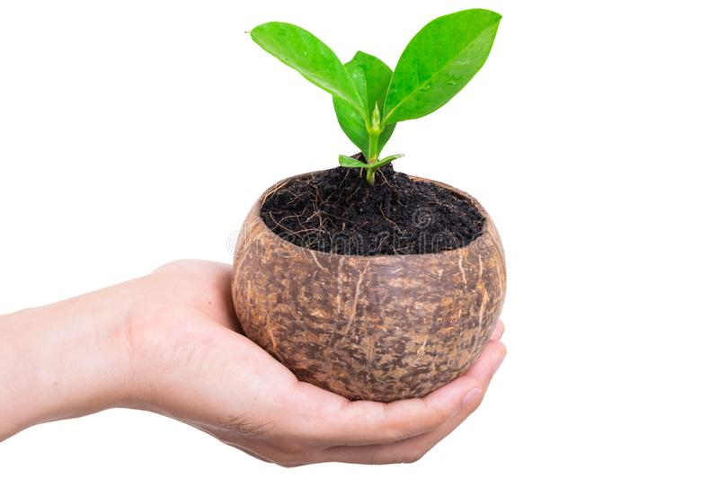 Hand holding small green tree in coconut shell on white stock images